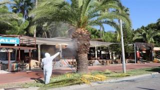 Park ve bahçeler müdürlüğü kırmızı palmiye böceğiyle mücadeleye başladı