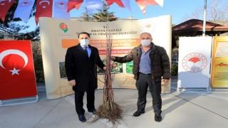 Amasya'da çiftçilere 'Amasya Misket Elması' fidanı dağıtıldı
