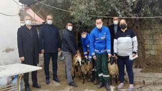 Aydın Büyükşehir Belediyesi Sakız Koyunu dağıtımını artırarak devam ediyor