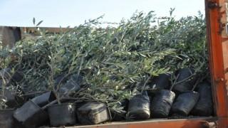 Büyükşehirden üreticilere zeytin fidanı desteği