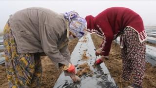 Diyarbakır'da kadınlara istihdam için çilek bahçesi oluşturuldu