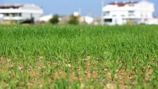 Muratpaşa'nın buğdayları filizlendi