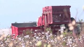 Pamuk Üreticisine Kilo Başına 70 Kuruş Kar Primi