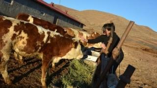 12 yaşındaki kız, biriktirdiği harçlıklarla 3 buzağı alıp çiftçiliğe atıldı