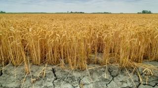Buğdayda tehlike çanları çalıyor