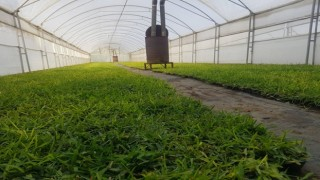 Büyükşehir susuzluğa dayanıklı çim üretiyor