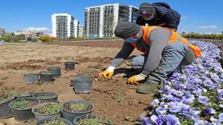Büyükşehir'den kuraklığa dayanıklı çim üretimi