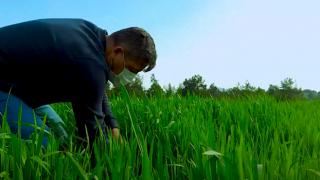 Ata tohumu buğdaylar başak vermeye başladı