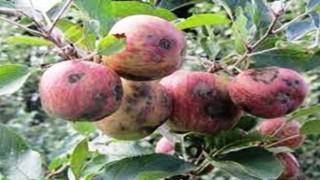 Elma ve Armutta Karaleke Hastalığına Dikkat!
