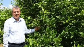 Akdeniz Meyve Sineği (AMS) zararlısı ihracata da darbe vuruyor