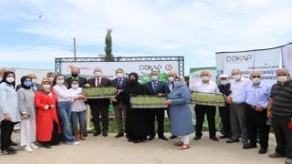 Bafra'da Üreticilere Kekik Fidesi Dağıtıldı