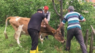 Giresun'da İlk 5 Ayda 237 Bin 661 Hayvan Aşılandı
