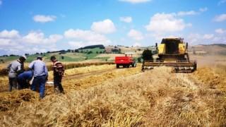 Samsun'da Buğday Hasat Sezonu Başladı