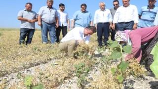 Bandırma'da nohut hasadı başladı