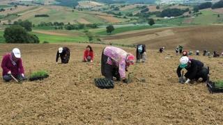 Büyükşehir 2,5 milyon biberiye fidesini toprakla buluşturdu