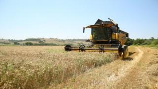 Ekolojik buğdayda hasat dönemi