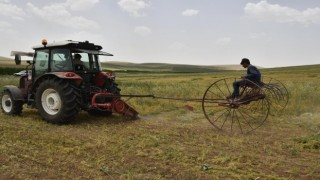 Kırmızı mercimekte hasat zamanı
