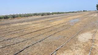Mersin'de damla sulamayla çeltik üretimi