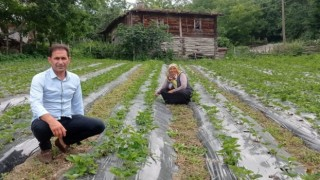 Samsun'da çilek üretimi yaygınlaşıyor