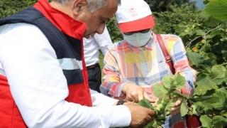 Samsun'da Fındık Rekolte Tahmini Çalışmaları Tamamlandı