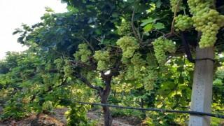 Taze üzümlerin turfandası Superior Seedless ihracata hazır