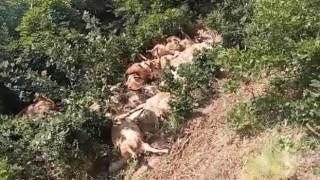 Tunceli'de 80 koyun telef oldu