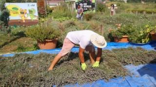 Kent Bostanları'nda lavantalar hasat edildi