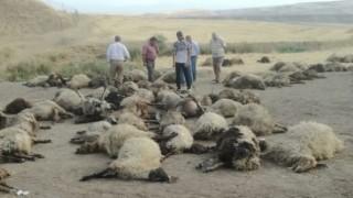 Sulama kanalına düşen 170 koyun boğuldu