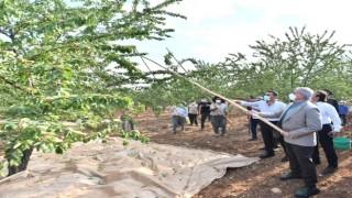 Vali Karaloğlu, Eğil'de işçilerle badem hasadı yaptı