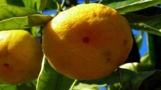 Akdeniz meyve sineği ile mücadelede ihracatçı üreticiye destek elini uzattı