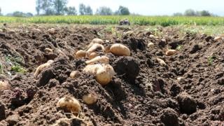 Bolu Patatesinde Hasat Devam Ediyor
