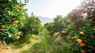 Rekolte kaybını önlemek için Akdeniz Meyve Sineği ile bölgesel mücadele çağrısı