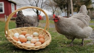 Tavuk eti üretimi 161 bin 923 ton, tavuk yumurtası üretimi 1,5 milyar adet olarak gerçekleşti