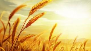 Buğday fiyatlarında yeni rekor