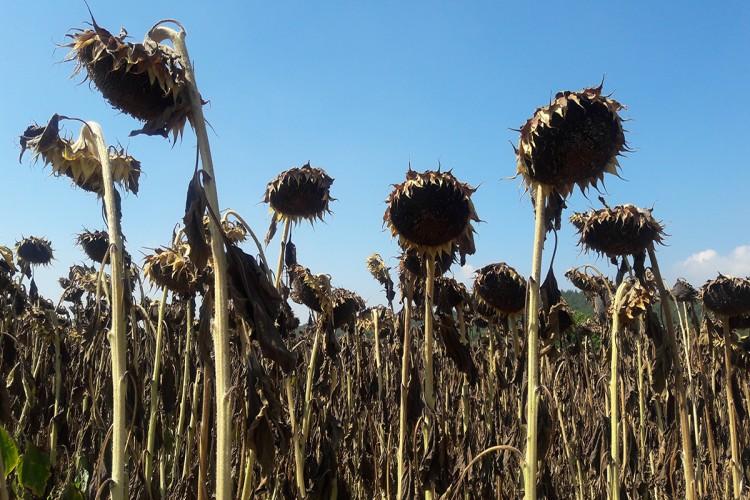 Bolu'da Yağlık Ayçiçekleri hasat ediliyor