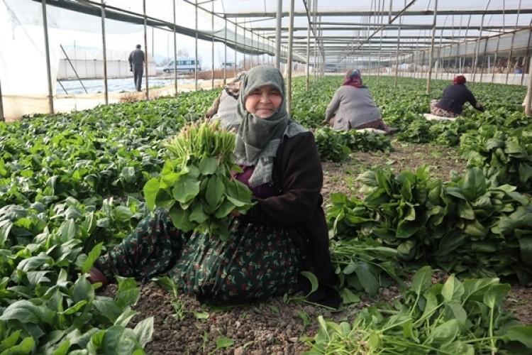 Amasya'da Üretilen Ispanaklara 302 Analiz Yapıldı