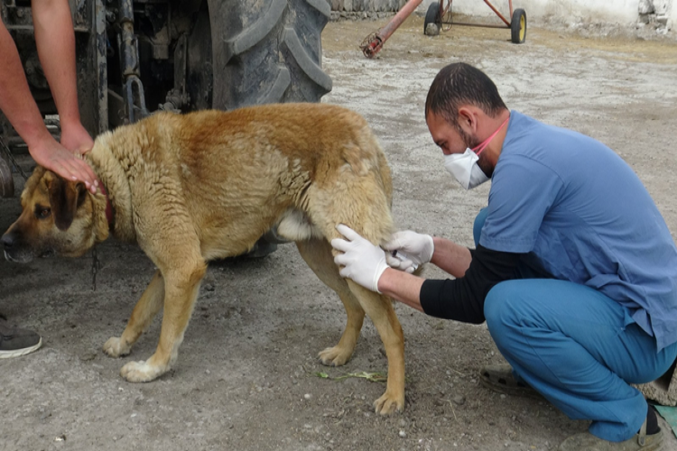 Kars'ta Sokak Köpekleri Kısırlaştırılıyor