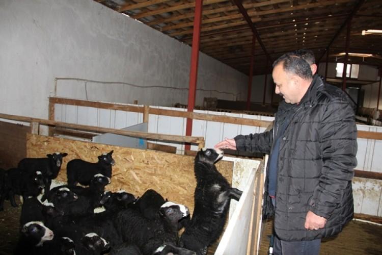 Iğdır'da Romanov Irkı Koyun Yetiştiriciliği Yaygınlaşıyor