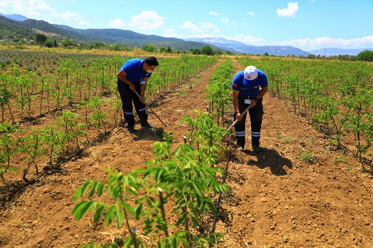 Büyükşehir'den Muğlalı Çiftçilere Ceviz Fidanı Desteği