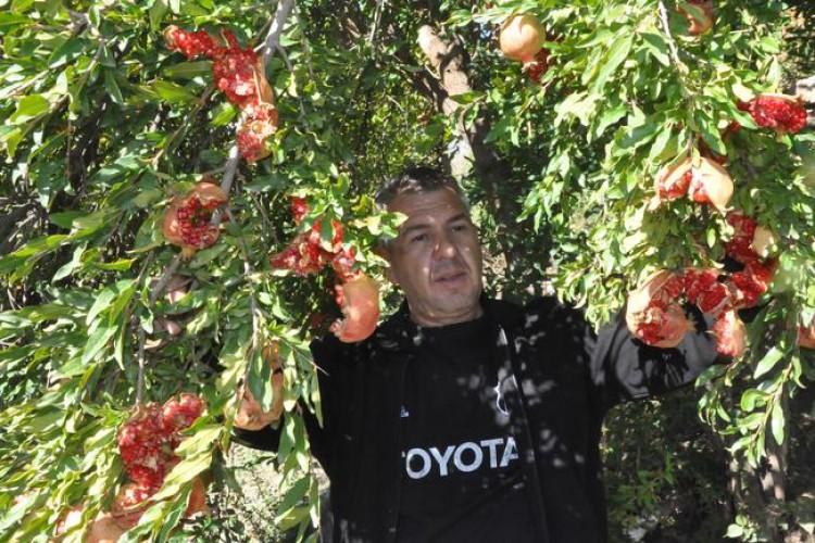 Bitlis'te Nar Dalında Çatladı, Hasat Yapılamadı