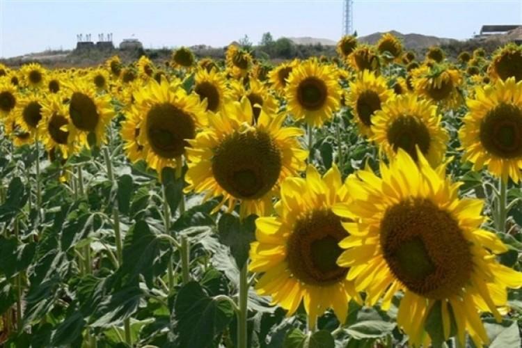 TÜİK Bitkisel Üretim Tahminlerini Açıkladı