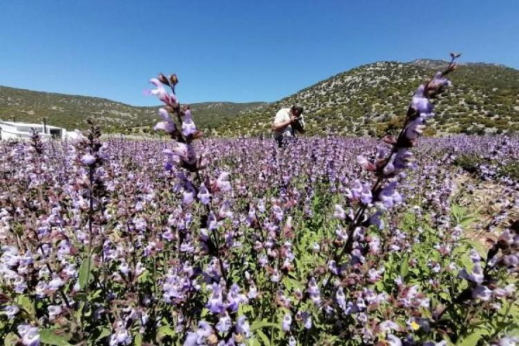 Lisinia'da Mor Renkli Ada Çayı Çiçeklerinin Görsel Şöleni