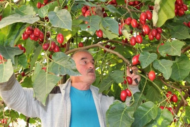 Ağaç domatesi 'Tamarillo' Rize'yi sevdi