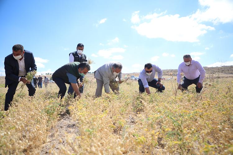 Talas'ta nohut hasadı yapıldı