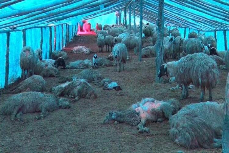 Elazığ'da çiçek hastalığı 600'den fazla koyunu telef etti